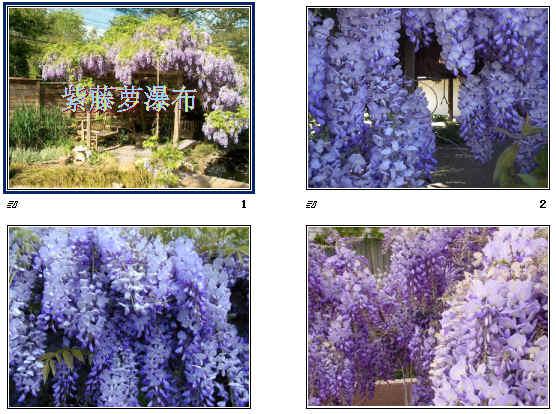 《紫藤萝瀑布》ppt25
