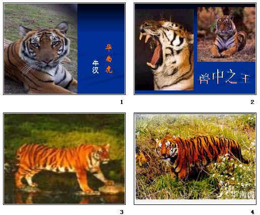 华南虎ppt25 人教版