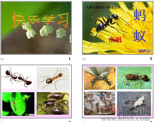 《蚂蚁》ppt5