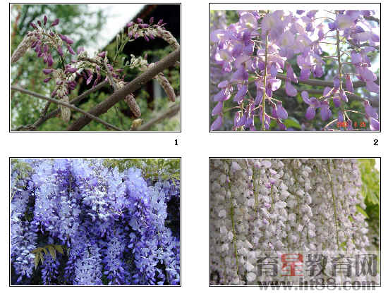 《紫藤萝瀑布》ppt179